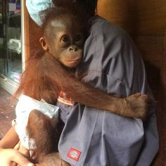 An orphaned orangutan has come a long way since she was found crying on a palm oil plantation in Borneo. Male Orangutan, Borneo Orangutan, Beautiful Creatures, Animals Beautiful, List Of Animals, First Tooth, Expecting Baby, Primates, Cute Baby Animals