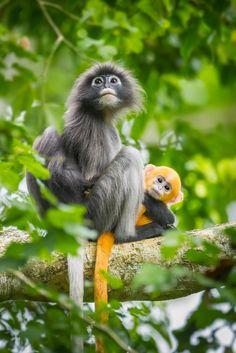 Dusky leaf monkey + colorful baby