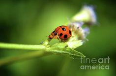 The Little Ladybug Photograph by Michelle Meenawong