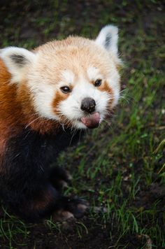 We& got exclusive early access to some new photos of the San Francisco& Zoo& newest resident, a male red panda. Get ready to make travel arrangements to get yourself to SF, pronto.