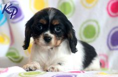 Bashful – Cockalier Puppies for Sale in PA | Keystone Puppies