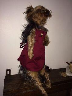 Vintage Anthropomorphic Taxidermy Dog Yorkshire Terrier Curio Bad Freak