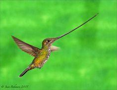 Sword-billid hummingbird Hummingbird, Sword, 1, Birds, Photos, Pictures, Bird, Hummingbirds, Swords