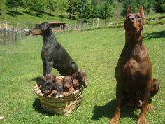 El Dobermann, un perro muy inteligente y noble | Cuidar de tu mascota es facilisimo.com