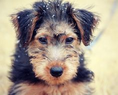 ♥DS♥ 340 Welsh Terrier Puppy