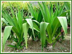 Crinum asiaticum (Giant/Grand Crinum Lily, Poison Bulb), planted by the roadside Water Garden, Bloom, Bulb, Gardening, Flowers, Plants, Gardens, Onion, Garten