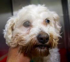 TO BE DESTROYED 05/15/16 **SENIOR NEEDS A RESCUE TO PULL** **SENIOR ALERT** 15 YRS OLD*** Manhattan HOPPER – A1073579 FEMALE, WHITE, POODLE MIN MIX, 15 yrs OWNER SUR – EVALUATE, NO HOLD Reason ALLERGIES Intake condition GERIATRIC Intake Date 05/13/2016 -- Dogs like HOPPER who are surrendered to the ACC by the people they trusted, can be put right onto the At-Risk List;  they can be euthanized right away if the shelter wants to!.