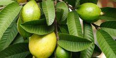 Conheça o poder terapêutico das folhas das frutas, pelo menos de algumas delas, e aumente seu leque de soluções naturais!