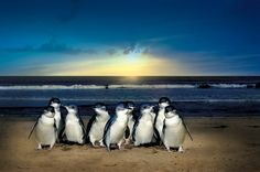 Penguin Parade on Phillip Island, VIC, Australia. Watch the little penguins (yes, that's exactly what they're called) return at sunset after a day of fishing out in the ocean. SO adorable.