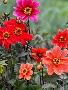 Variable colors, but reds & oranges are most common in the bloom department. To tall & bushy, it doesn't need that silly staking either. Spring Flowering Bulbs, Famous Daves, Growing Seeds, Flower Power, Bloom, Dahlias, Children, Pretty, Flowers