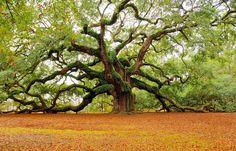 """Angel Oak Tree on John's Island, Charleston - South Carolina. Some estimates place its age at 1500 years old."" Oh my god that's a beautiful tree <3"