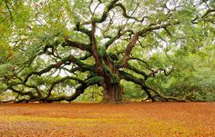 Angel Oak Tree on John's Island, Charleston - South Carolina. Some estimates place its age at 1500 years old.