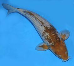 1000 images about koi fish on pinterest koi butterfly for Ochiba koi fish