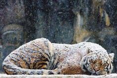 Snow and a tiger... 2 of my favorite things