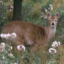 Species – Chinese Water Deer - The Mammal Society Water Deer, Mammals, Habitats, Kangaroo, Giraffe, Woodland, Coastal, Baby Bjorn, Felt Giraffe