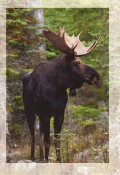 A huge moose - all the way from Carina in Pietarsaari, Finland.