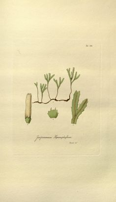 v. 1 - Musci exotici, containing figures and descriptions of new or little known foreign mosses... : William Jackson Hooker, 1818 - Biodiversity Heritage Library