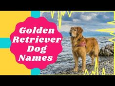 Top 20 Most Popular Golden Retriever Dog Names With Meaning ! Unique Dog Names 2021 - YouTube Popular Male Dog Names, Best Dog Names, Pet Names, Best Dogs, Golden Retriever Names, Names With Meaning, Retriever Dog, Dog Lovers, Meant To Be