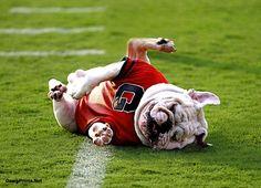 Georgia Bulldogs mascot Uga VI playfully rolls around on the football field.