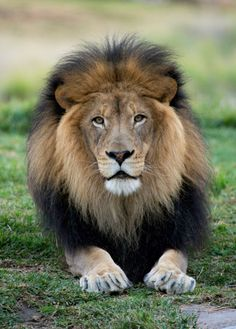 Beautiful Male Lion at the San Diego Zoo Safari Park by Brian Connolly Photograp. - -: Beautiful Male Lion at the San Diego Zoo Safari Park by Brian Connolly Photograp. Lion Images, Lion Pictures, Beautiful Cats, Animals Beautiful, Zoo Animals, Cute Animals, Lion Photography, Beaux Couples, Lion And Lioness
