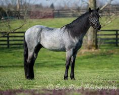 black roan - unknown Rocky Mountain Horse