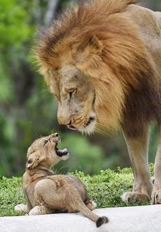 """""""I don't want to"""" (son) """"Oh really"""" (father) 5 seconds later """"yes sir,sorry sir."""" LOL!! Made some quotes for them! There sooo cute!!! Big Cats, Cats And Kittens, Cute Cats, Ragdoll Cats, Sphynx Cat, Cute Baby Animals, Animals And Pets, Funny Animals, Wild Animals"""
