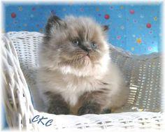 Teacup Persian Kitten - I need one!