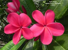 """Zona Rosa: A medium-tall tree distinguished by large (4-5""""), nicely scented, and intensely pink plumeria flowers."""