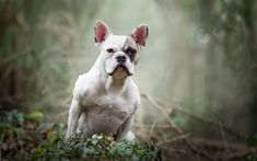 Download wallpapers French Bulldog, white puppy, small white dog, pets, dogs
