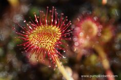 A closer look at Drosera rotundifolia, also known as the round-leaved sundew, pictured at Thursley Common National Nature Reserve in June. Stuff To Do, Things To Do, Fly Traps, Carnivorous Plants, Nature Reserve, Surrey, Closer, Dandelion, Places To Visit