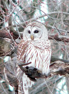 Father barred owl by Kelly Lamb