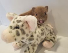 Home - Mini Pocket Pigs Mini Pigs For Sale, Pocket Pig, Indoor Pets, Pet Pigs, Boxing Training, Litter Box, Little Red, Animals, Boxing Workout