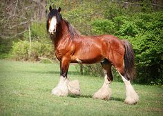 Stallion Clydesdale by Nine Acres, via Flickr