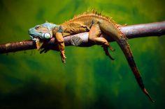 Iguana iguana by  Gaschwald on 500p. Green Leguan (Iguana iguana) in Ulm Zoo.x.