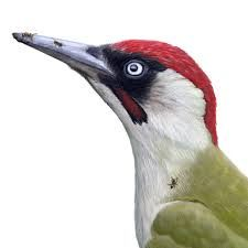 Image result for green woodpecker illustrations