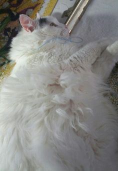 8f74df4365 Turkish Van cats can take two years or more to grow