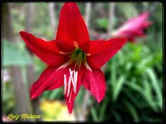 Amarilis Vermelha (Amaryllis belladonna).