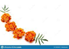 Photo about Orange Marigold flower, Tagetes erecta, Mexican marigold, Aztec marigold, African marigold isolated on white background. Image of design, beautiful, isolated - 129252921 Tumbler Stickers, Farm Logo, Marigold Flower, Small Tattoos, Aztec, Tatting, African, Orange, Floral