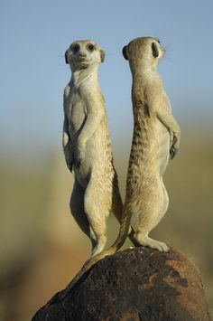 ~~Erdmännchen by Solvin Zankl ~ meerkats~~