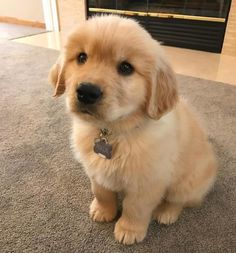 Einige der Dinge, die wir an den Outgoing Golden Retriever Dogs lieb. Some of the things we do about the Outgoing Golden Retriever Dogs love . Cute Dogs And Puppies, Baby Dogs, Pet Dogs, Doggies, Funny Puppies, Puppies Puppies, Funny Dogs, Cavapoo Puppies, Very Cute Dogs