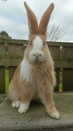 Huge bunny