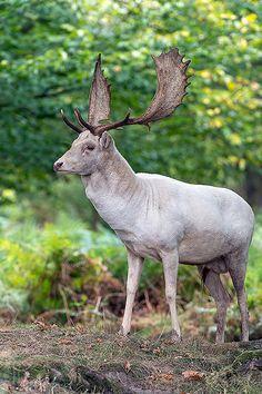 Fallow Deer (dama dama) | da Dave Hunt Photography