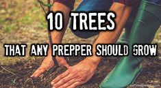 By Carmela Tyrell– SurvivoPedia When it comes to selecting trees to plant it is important to think about all the survival needs that can be met by using trees. Aside from food production, tr… #preppergardening