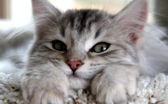 Wallpapers: animals, cat, looking, gray