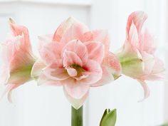 I wish #everyone a #beautiful, #sunny  #day with our #NEW#Amaryllis PINK GLORY.  http://royalcolors.com/amaryllis/pink-glory/     #flower