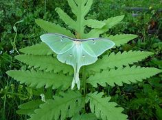 I'm missing moths! Is there a more perfect and ethereal creature than a Luna moth? Old Bridge, New Jersey. Lunar Moth, Moth Species, Atlas Moth, Plant Leaves, Insects, Creatures, Herbs, Amazing