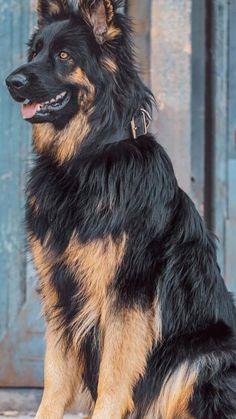 Big German Shepherd, German Sheperd Dogs, German Shepherd Pictures, German Dogs, Shepherd Dog, Gsd Dog, Dane Dog, Baby Dogs, Dogs And Puppies