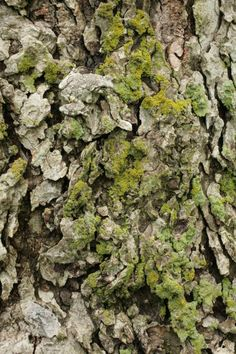 Gray Tree Frog Camouflaged On Lichen-covered Pecan Tree