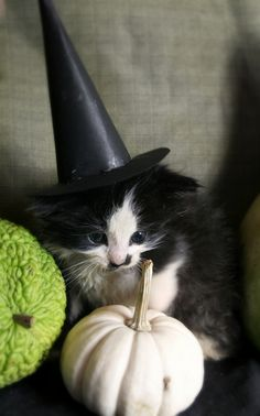 Did you know that next to the of July, Halloween is the most dangerous time of year for our cats? Crazy Cat Lady, Crazy Cats, Animals Beautiful, Cute Animals, Color Splash, Here Kitty Kitty, Baby Kitty, Kitty Cats, Mundo Animal