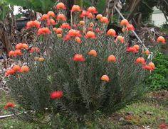 Leucospermum 'Blanche Ito' - Blanche's Sky-rocket Pincushion